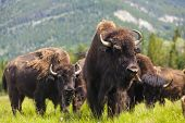 stock photo of eat grass  - Herd of American Bison  - JPG