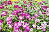 stock photo of zinnias  - Beautiful white Narrowleaf Zinnia or Classic Zinnia flowers background - JPG