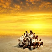 stock photo of conch  - Conch shell on beach in the sunset - JPG