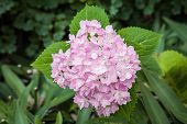 Hydrangea Flower In The Garden