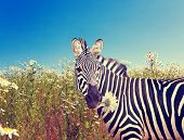 Zebra with a camomile with a retro effect