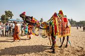 PUSHKAR, INDIA - NOVEMBER 22, 2012: Camel decoration competition contest at Pushkar camel fair (Push