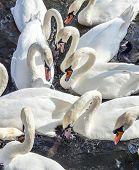 Swan In Alster River