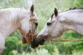 Amor de caballos árabes