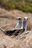 image of blue footed booby  - Blue - JPG