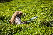 KERALA, INDIA - FEBRUARY 18, 2014: Unidentified Indian woman harvests tea leaves at tea plantation at Munnar. Only uppermost leaves are collected and workers collect daily up to 30 kilos of tea leaves