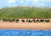 A Flock Of Black Pelicans Near Water.