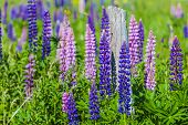 Lupins growing wild  and flowering along the roadsides and streams or rural Prince Edward Island, Canada.