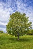 Lone maple tree in a parkland setting in rural Prince Edward Island, Canada.