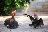 Fighting cocks in a vicious attack, traditional east asian culture.