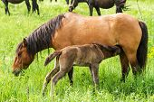 stock photo of horses eating  - Nice horse family in the pasture in spring - JPG