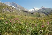Flowers In Aveyrolle Valley And Snowed Mountains. Savoy. France