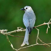 Ashy Drongo (dicrurus Leucphaeus) Nice Grey Bird With Nice Back Profile