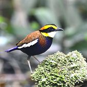 Banded Pitta Bird (pitta Guajana) Strong Standing On A Mossy Rock