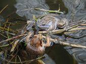 The moor frog (Rana arvalis)
