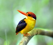 Black-backed Kingfisher (ceyx Erithacus) A Very Beautiful And Muticolor Bird