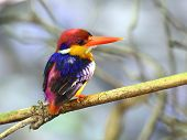 Black-backed Kingfisher, Ceyx Erithacus, A Little Cute Tiny And Colorful Muticolor Kingfisher Showin