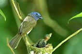 Black-naped Monarch Or Black-naped Blue Flycatcher, Hypothymis Azurea, Asian Paradise Flycatcher, Fe