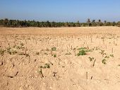 image of cassava  - the cassava field in north of Thailand - JPG