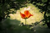 stock photo of fable  - A wonderful unique mysterious tulip shining through a dark bush - JPG