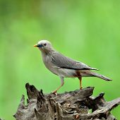 Chestnut-tailed Starling Bird (sturnus Malabaricus) Standing On Nice Log With Green Background