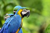 Closeup Of A Beautiful Blue-and-yellow Macaw, Macaw Bird With Nice And Great Details