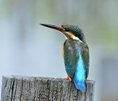 Common Kingfisher Bird (alcedo Atthis) With Details Of Its Back Feathers