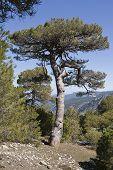 Pinus halepensis or carrasque