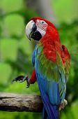 stock photo of green-winged macaw  - Green-winged macaw green wing macaw lifts his leg in action