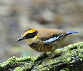 stock photo of belly-band  - Lovely Female of Banded Pitta bird  - JPG