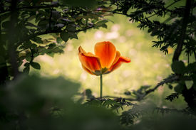 stock photo of uniqueness  - A wonderful unique mysterious tulip shining through a dark bush - JPG