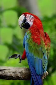 image of green-winged macaw  - Green-winged macaw green wing macaw lifts his leg in action ** Note: Visible grain at 100%, best at smaller sizes - JPG