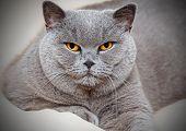 Portrait Of Adorable British Cat