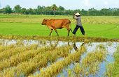 Asian Farmer Tend Cow On Rice Plantation