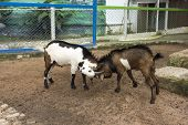 stock photo of billy goat  - Domestic goat  - JPG