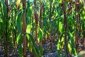 Ripe Maize Ears In A Corn Field