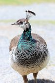 stock photo of peahen  - Close up of a Peahen taken in New Zealand - JPG