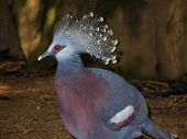 Goura Victoria, Crowned Pigeon.