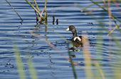 American Coot Swimming In The Marsh