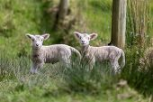 picture of baby twins  - Two cute baby sheep twin lambs animals - JPG