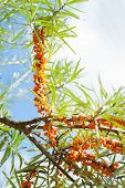 pic of sea-buckthorn  - Branch with berries of sea buckthorn and green leaves on a background of grass and sky - JPG