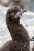 Portrait Of Blue-eyed Antarctic Cormorant Downy Chick Near Nest