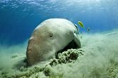 picture of sea cow  - dugong aka sea cow eating sea grass - JPG