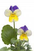 Viola cornuta  tricolore