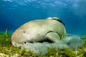 image of sea cow  - dugong aka sea cow - JPG