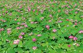 Wonderful Lotus Pond, Vietnam Flower