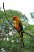 foto of sun perch  - sun conure or sun parakeet or aratinga solstitialis - JPG