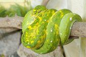 green tree python or morelia viridis