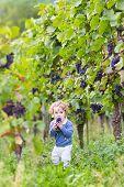 Cute Funny Baby Girl Eating Fresh Ripe Grapes In A Beautiful Autumn Vine Yard