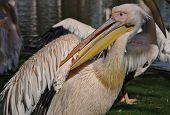 pelican cleaning himself